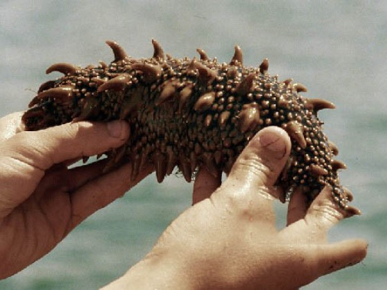 人工养殖海参的营养价值如何
