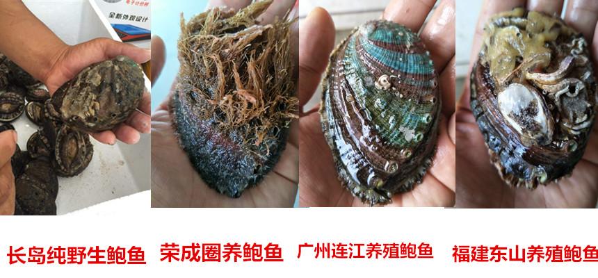 深海纯野生鲍鱼【现捞现卖】跟养殖的完全不一样!
