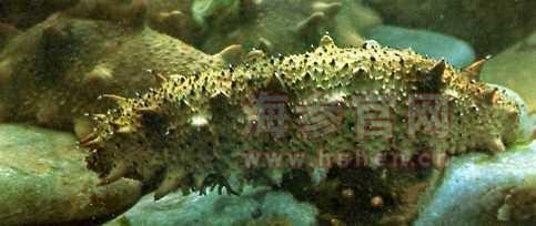 人工养殖海参的营养价值