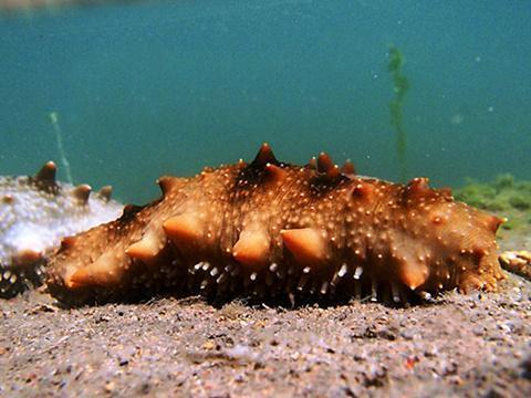 为什么干海参泡不大呢?