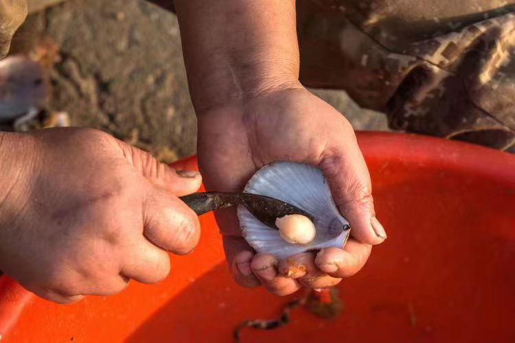 野生栉孔扇贝丁【鲜甜,无盐】跟几十块钱1斤的瑶柱贝丁不一样