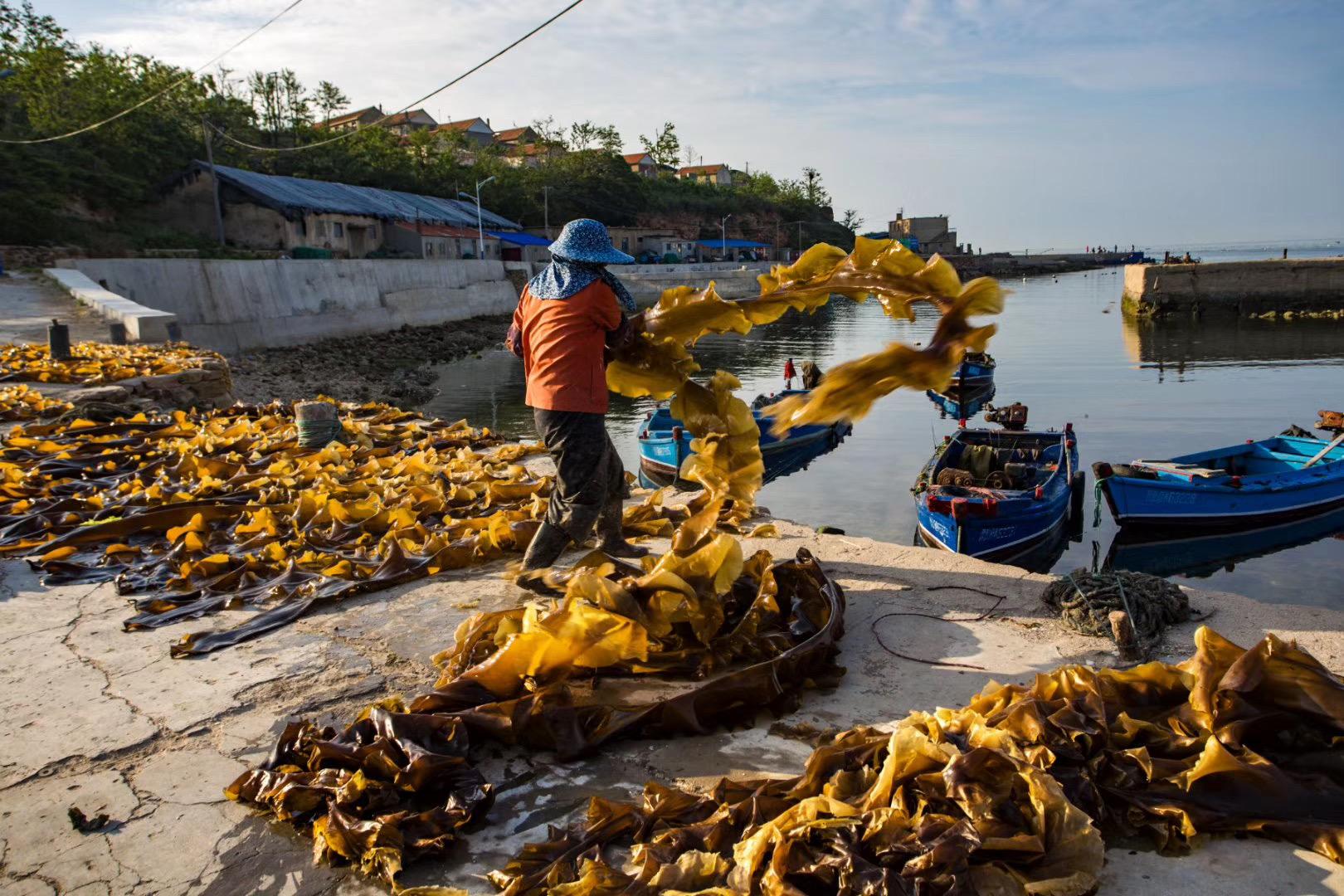 顶级的天然海带【88元/3斤,顺丰包邮】出口十多个国家